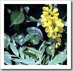 cassia-angustifolia