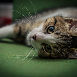 Thor. by Nick Kelleher - Animals - Cats Kittens ( aww, kitten, cat, colourful, sharp, lightroom, dof, cute, bokeh )