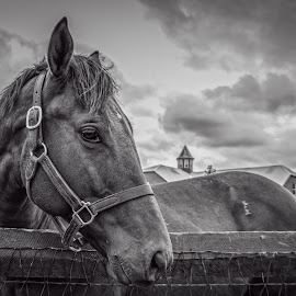 My Better Side by Paulo Peres - Animals Horses ( farm, b&w, horse, animal, kentucky )
