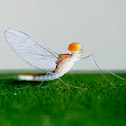Mayfly or Shadfly