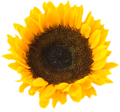 bam_summersunflowers_4_singleflower