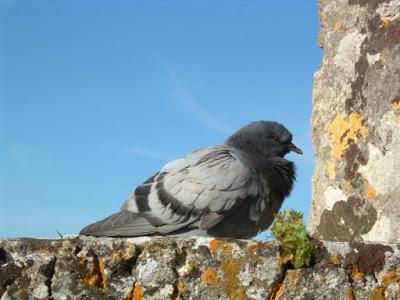 Pombo Palmelão - Pombo no castelo de Palmela
