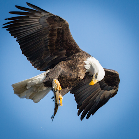 Looking It Over by Mike Trahan - Animals Birds ( flight, nature, bald eagle, prey, mississippi,  )