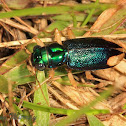 Metallic Tiger Beetle