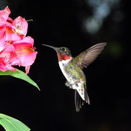 Flying By by Jan Carter - Animals Birds ( migration, flower garden, avian, hummingbird, green, feathers, ruby-throat, bird, flight, red, lily, nature, outdoors, pink, flower,  )