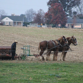 Working horses by Anna Tripodi - Animals Horses ( farm, horses, beautys, workers, corn,  )