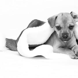The Christmas puppy by Hush Naidoo - Animals - Dogs Puppies ( cute puppy, christmas, puppy, hat, black and white, animal )