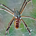 Tent-web spider (female)