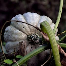 Pumpkin by Cengiz Tasci - Nature Up Close Gardens & Produce ( pumpkin, vegetables, nature up close, garden )