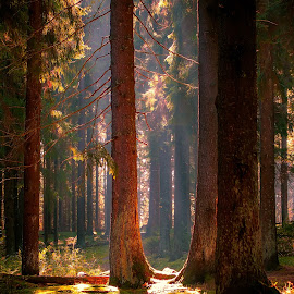 sun stream in the woods by Peter Björklund - Landscapes Forests