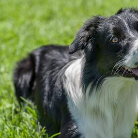 by Cristobal Garciaferro Rubio - Animals - Dogs Portraits ( collie, dogs, black and white dog, dog )