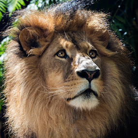 King of the Jungle  by Helen Tweedie - Animals Lions, Tigers & Big Cats