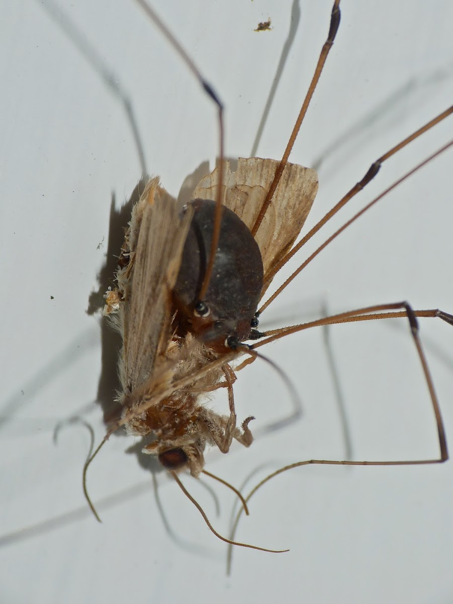 Harvestman vs. moth