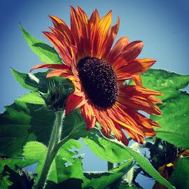 # sunflower# autumn by David Suggitt - Nature Up Close Gardens & Produce ( puremichigan, dsuggieshoots, homegardening, sopretty, UP, suggittsfunnyfarm )