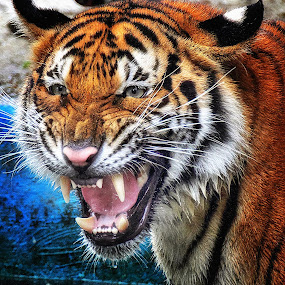 GRRRRR... by Andy Teoh - Animals Lions, Tigers & Big Cats ( big cat, tiger, zoo, animal, andyteoh photography )