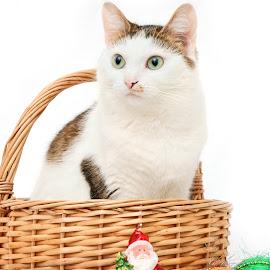 Snow Maiden by Nadezda Tarasova - Animals - Cats Portraits ( cat, new year, christmas decorations, basket )
