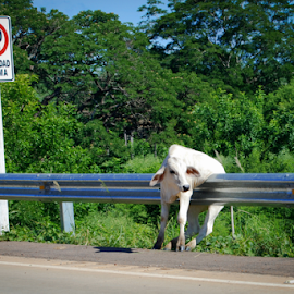 Bad Day by Jason Weigner - Animals Other Mammals ( white, cow, stuck, humor, travel, road, cattle,  )