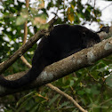 Bugio-preto(Black-and-gold Howler)
