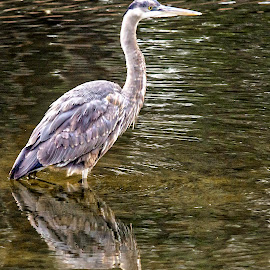 Heron's Reflection by Carol Plummer - Animals Birds