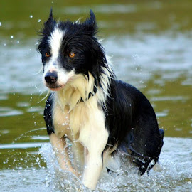 Collie by Mariska Brink - Animals - Dogs Running ( border collie )