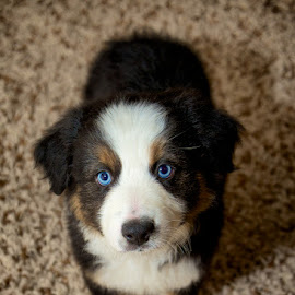 Hi im Navy by Jayson Nolasco - Animals - Dogs Puppies ( blue eyes, australian shepherd, #GARYFONGPETS, #SHOWUSYOURPETS )