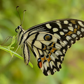 Butterfly by Bankim Desai - Animals Insects & Spiders ( butterfly, micro )