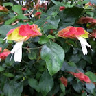Red Shrimp Plant or Mexican Shrimp Plant