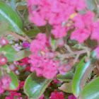 Pink Velour Crape Myrtles