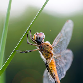 Dragonfly by Rashedul Tarek - Animals Insects & Spiders ( dawn, dragonfly )