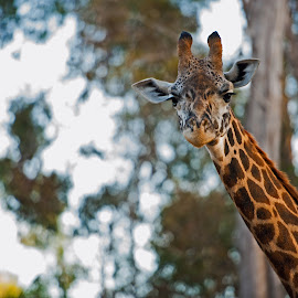 Cheese by Kevin Mummau - Novices Only Wildlife ( staredown, zoo, giraffe, wildlife, africa )