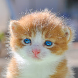 by Maja  Marjanovic - Animals - Cats Kittens ( cats, cat, animals, kittens )