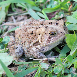 Lazy Toad by Sue Delia - Animals Amphibians ( warts, yellow toad, frog, toad,  )