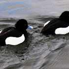 Tufted Duck / Porrón moñudo