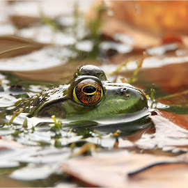 Catchin' Some Rays by Dennis Ba - Animals Amphibians ( bullfrog, silver lake, autumn colors )