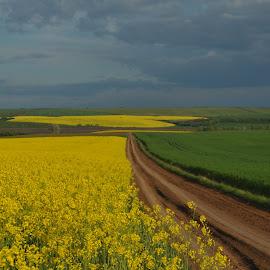 Path In Rape fields by Adrian Per - Landscapes Prairies, Meadows & Fields ( agricultura, romania, cereals, rape, fields, path, nature, landscape )