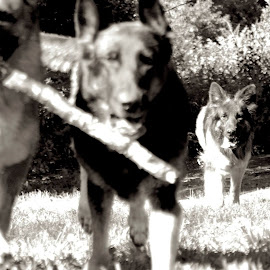 Shepherds in B&W by Kira Brita - Animals - Dogs Running
