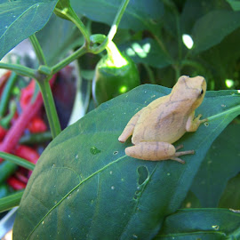 tree frog in the pepper patch by Karen Branch - Nature Up Close Gardens & Produce