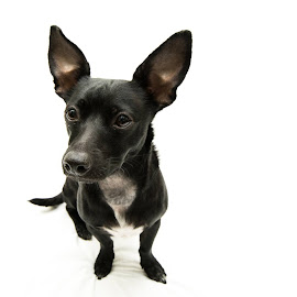 Truffles the Test Pup by Natalie M - Animals - Dogs Portraits ( black dog, dogs, big ears, wide angle dog, black dogs, pet, pets, cute, dog, wide angle lens )