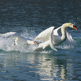 Swan by Branko Frelih - Animals Birds