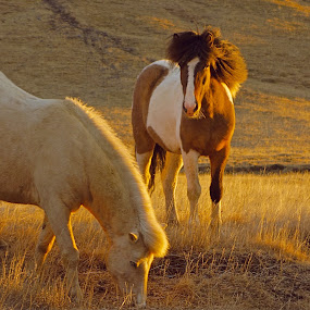 Horses & sunset by Kristján Karlsson - Animals Horses ( wild, iceland, horses, nature, sunset )