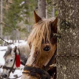 Mountain horses by Tudor Migia - Animals Horses ( work, winter, mountain, tree, horse )