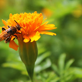 bee and flower by Robby Montolalu - Nature Up Close Gardens & Produce ( orange, tomohon, bee, indonesia, north sulawesi, flower )