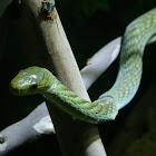 Western green mamba