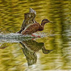 Foiiowing up by Radu Eftimie - Animals Birds ( ducks, lake )