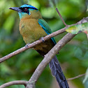 Blue-diademed Motmot