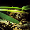 Roland's burrowing frog