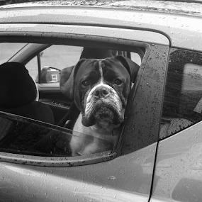 A Bemused Bulldog by Del Candler - Black & White Animals ( car, bulldog, england, window, black and white, dog, animal )