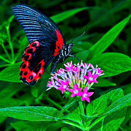 Butterfly on penta by David Winchester - Animals Insects & Spiders