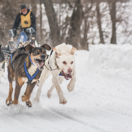 Dog's race by Benoit Beauchamp - Sports & Fitness Snow Sports