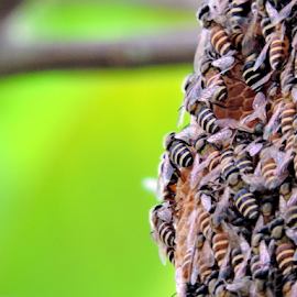 Dwarf Bees by Yusop Sulaiman - Nature Up Close Hives & Nests